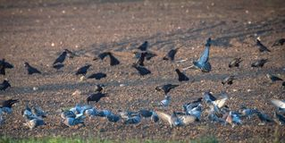 Rooks and pigeons gather up the grain after sowing. Harmful poultry for agriculture royalty free stock photos