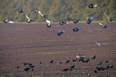 Rooks and pigeons gather up the grain after sowing. Harmful poultry for agriculture stock images