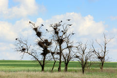 Rooks sit in the trees in the steppe, Rostov region, Russia Stock Photo