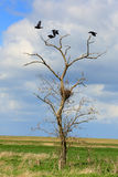 Rooks sit in the trees in the steppe, Rostov region, Russia Royalty Free Stock Photos