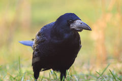 Rooks Spring portrait Royalty Free Stock Images