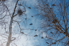 Rooks in the spring sky. Stock Image