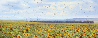 Rooks on a sunflower field. Stock Photography