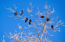 Rooks in tree in winter Royalty Free Stock Image