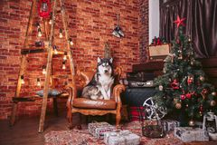 Dog in the chair in the Christmas interior. Room decorated with decorations decorated for Christmas, with a dog on the chair Stock Photo