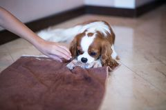 King Charles Spaniel Stock Photography