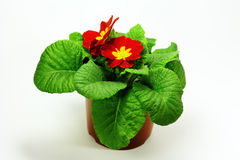 Room flower. Room Primrose flower with bright red petals, bright yellow stamens. Potted plant on a white background Royalty Free Stock Images