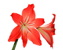 Room flower lilies Stock Image