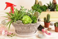 Room flowers in pot Royalty Free Stock Image