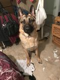 Room house German Shepherd dog stock photos