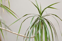 Room plant dragon tree Stock Photography