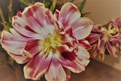 Room tulip just before fading. Flowering time is over soon, white to pink petals, Tulip blossom is coming to an end, plant genus of lily Family royalty free stock image