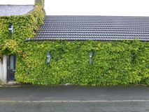 A room with a view. A house so covered with Ivy Stock Images