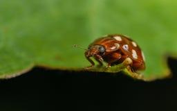 Room-vlek onzelieveheersbeestje (Calvia 14 guttata) Stock Fotografie
