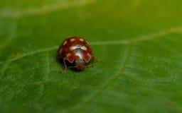 Room-vlek onzelieveheersbeestje (Calvia 14 guttata) Royalty-vrije Stock Afbeeldingen