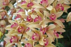 Roomkleurige Orchidee Stock Afbeelding