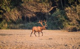 Roosevelt Bull Elk with Antlers Stock Photos