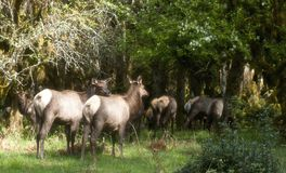 Roosevelt Elk Stock Afbeelding