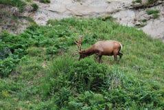 Roosevelt Elk royalty free stock photography