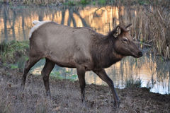 Roosevelt Elk. A Roosevelt Elk walking past a body of water Royalty Free Stock Photos