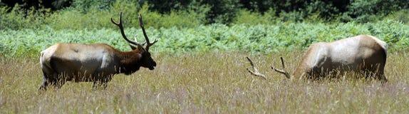 Roosevelt Elk Royalty Free Stock Images