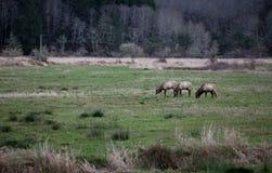 Roosevelt Elk 2 Imágenes de archivo libres de regalías