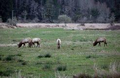 Roosevelt Elk 3 Imagenes de archivo