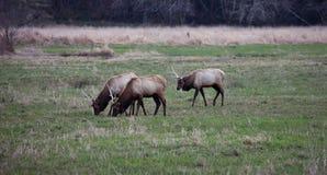 Roosevelt Elk 4 Fotos de archivo libres de regalías