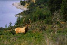 Roosevelt Elk Bull Stock Photography