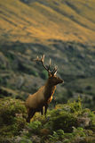 Roosevelt Elk Bull. A roosevelt elk bull in New Zealand backlit on mountainside Royalty Free Stock Images