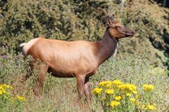 Roosevelt Elk Royalty Free Stock Images