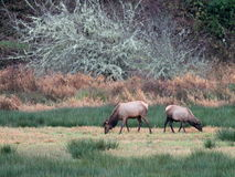 Roosevelt Elk Feeding Royalty Free Stock Image