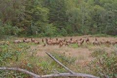 Roosevelt Elk herd grazing Stock Image