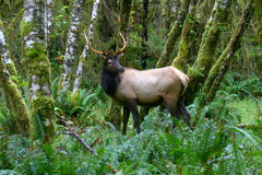 Roosevelt Elk among the mossy trees Stock Photos