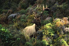 Roosevelt Elk in Mountain Landscape Stock Photography