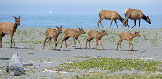Roosevelt Elk near the Pacific Ocean. A parade of young Roosevelt Elk (Cervus canadensis roosevelti) calves walk with their herd near the Pacific ocean in Royalty Free Stock Photo