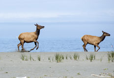 Roosevelt Elk near the Pacific Ocean Royalty Free Stock Photography