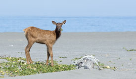 Roosevelt Elk near the Pacific Ocean Stock Photography