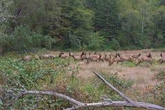 Roosevelt Elk para ihop Arkivfoton