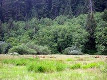 Roosevelt Elk In Redwood Park Royalty Free Stock Images