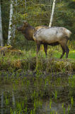 Roosevelt Elk-Stier Hoh Rain Forest-Lebensraum olympischer Nationalpark-Staat Washington stockfotos