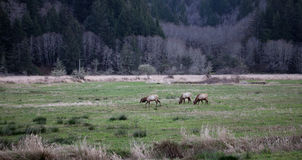 Roosevelt Elk 1. Wild elk in the evening at the Dean Creek overlook, located on the Umpqua River, near Reedsport, Oregon, USA Royalty Free Stock Photography