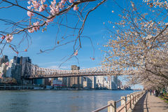 Roosevelt Island during cherry blossom in New York City Stock Images