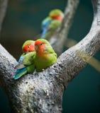 Rooskleurig-onder ogen gezien Dwergpapegaaien Royalty-vrije Stock Foto