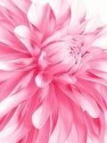 Rooskleurige bloem Stock Afbeeldingen