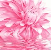 Rooskleurige bloem in water Royalty-vrije Stock Afbeelding