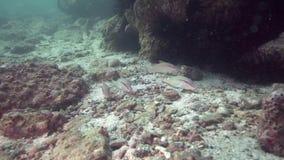 Rooskleurige goatfish Parupeneus rubescens in de golf van Fujairah de V.A.E Oman stock video