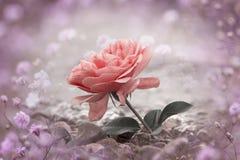 Rooskleurige één nam bloem bij het steenachtige strand toe, gypsophilakader Royalty-vrije Stock Afbeeldingen