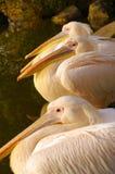 Rooskleurige Pelikanen bij het Park Luise in Mannheim Stock Foto