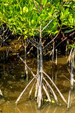 Roost and small tree mangrove Royalty Free Stock Photo